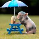 destacada-cerdo